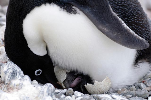 A newly hatched Adélie penguin chick with its parent.
