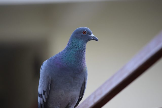 Blue Indian Pigeon