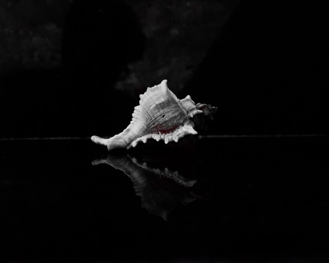Conch Shell on Black Background
