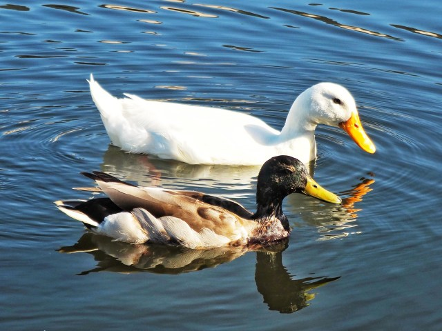 Two ducks floating on water
