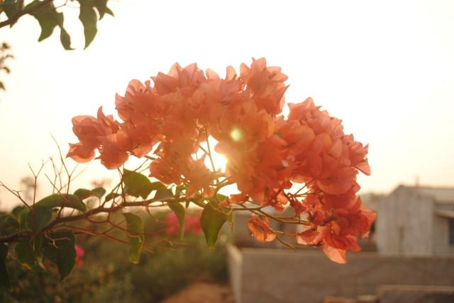orange bougainville close-up