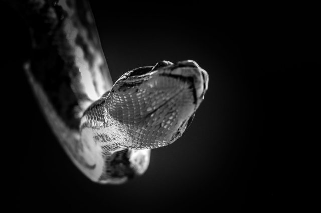 Python in black and white