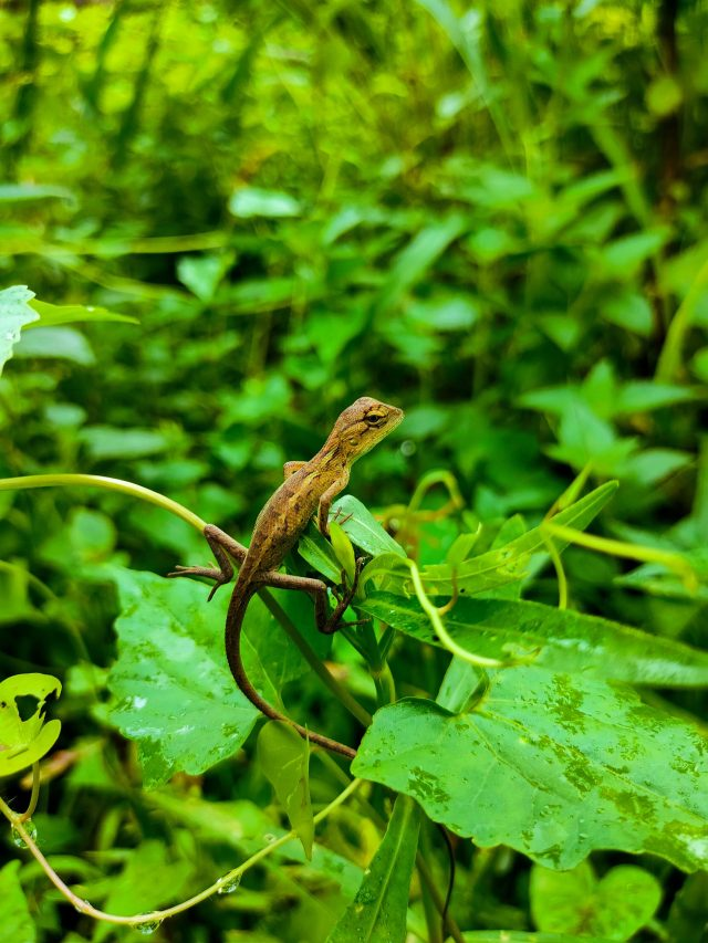 A chameleon on green leaves
