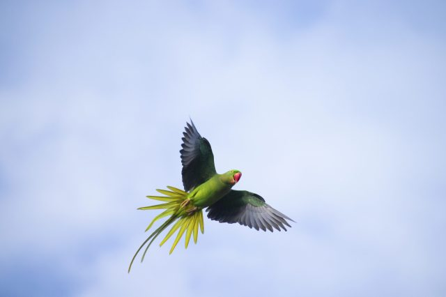 A flying parrot