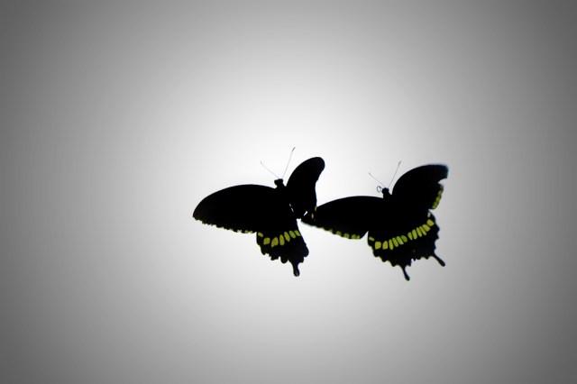 A pair of flying butterflies