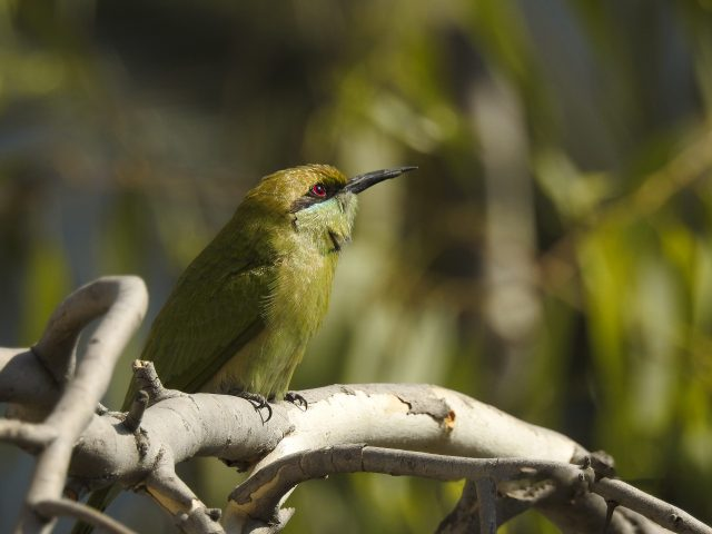 Bee-eater in the Branch of Tree on Focus