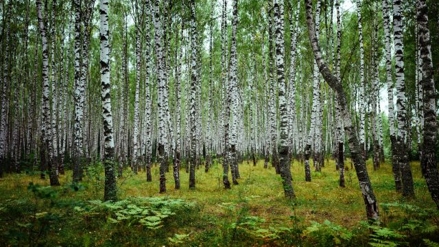 Birchwood in Russia