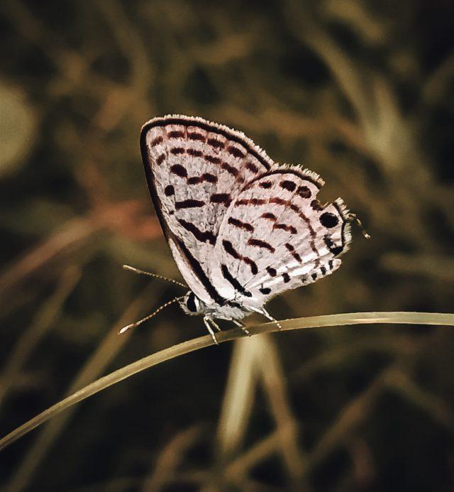 A Melanargia butterfly.