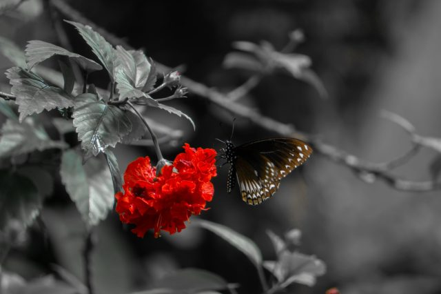 Butterfly on a red hibiscus