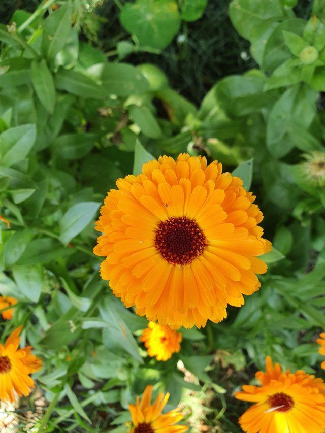 Calendula officinalis on Focus