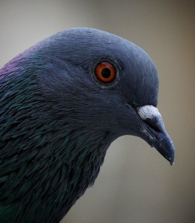 Close-up portrait of a pigeon