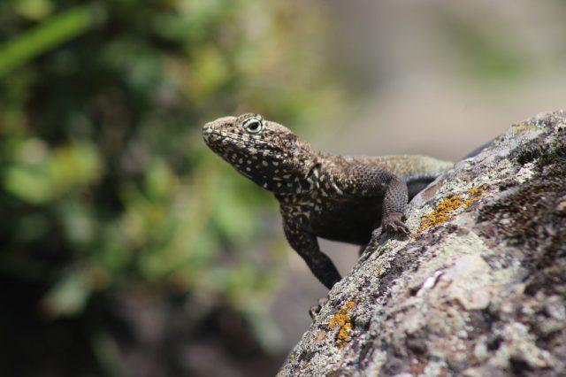 Common Agama on stone