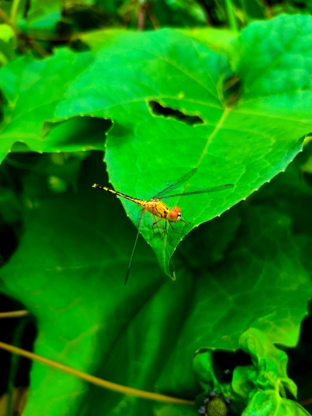 Dragon Fly on a leaf