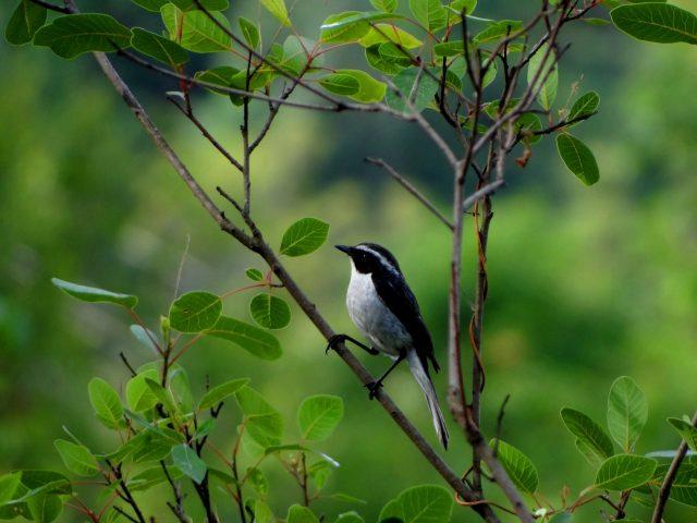 Forest Song Bird