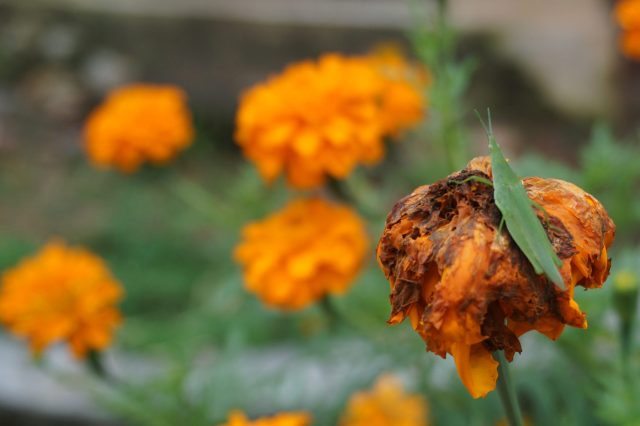 Grasshopper on a dead flower