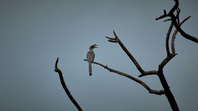 Hornbill Bird Sitting on a Bare Tree