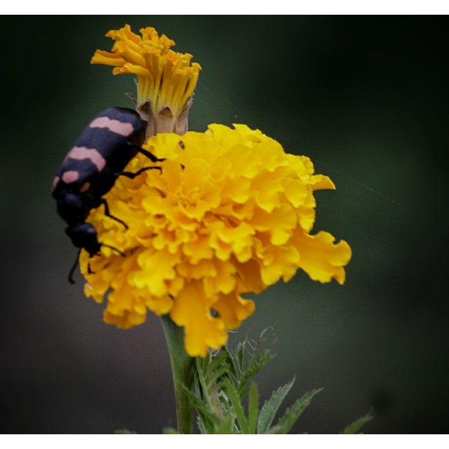 Insect on a marigold flower