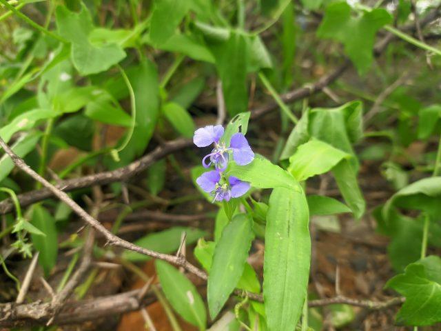 Jungle Violet Flower
