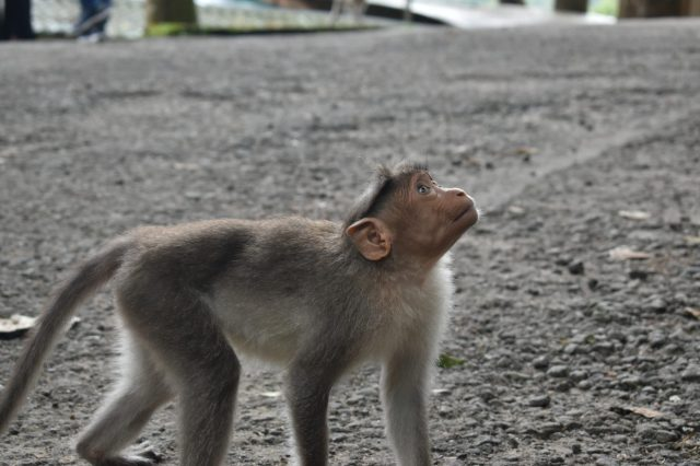 Monkey looking for its partner