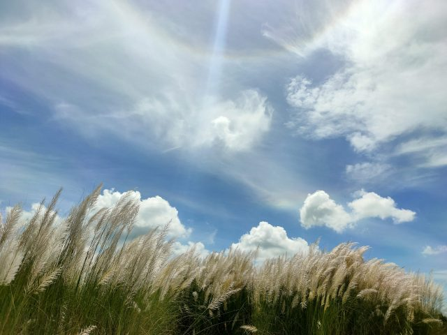 Pampas grass and sky