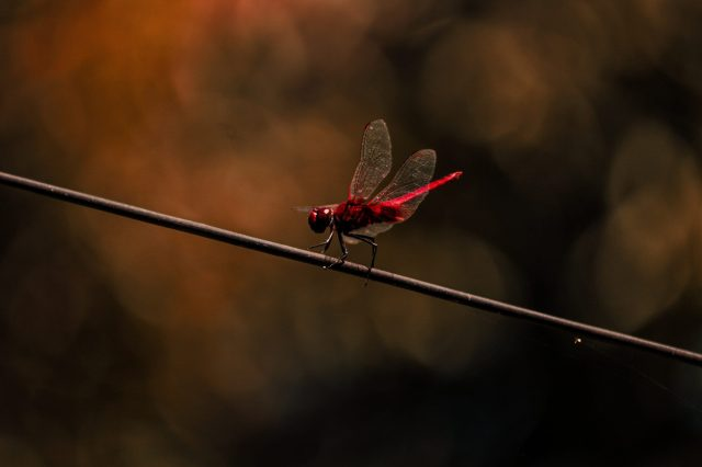 Red Drangonfly