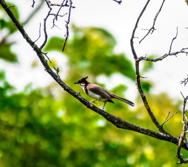 Red whiskered bulbul on Tree Twig