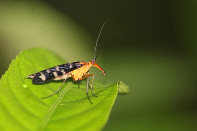 Scorpionfly on a leaf