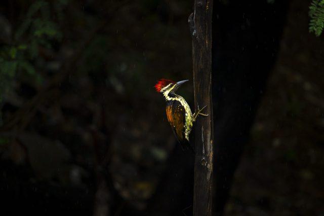 Woodpecker in the darkness
