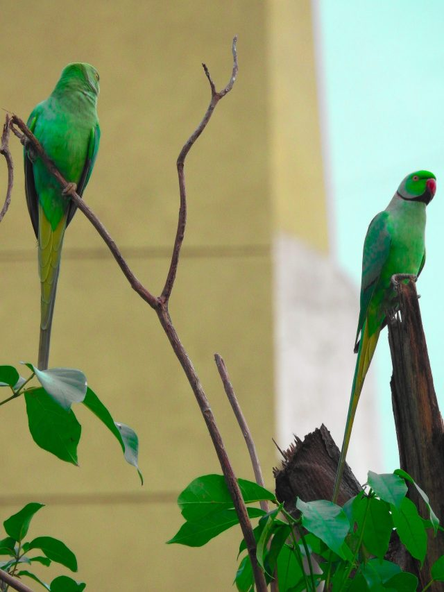 couple ringed parakeets