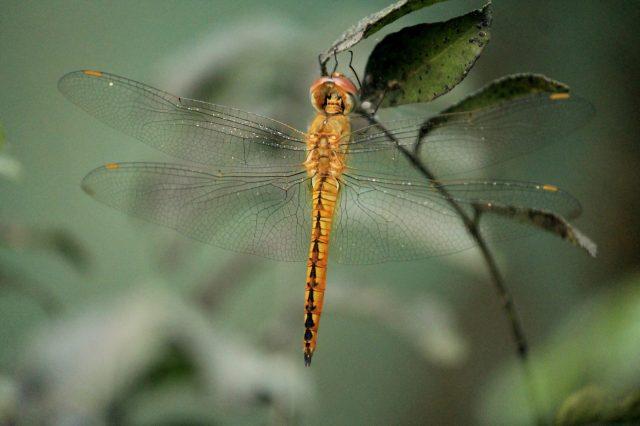 A golden dragonfly