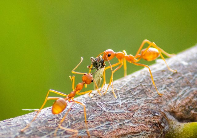 Ants fight for prey