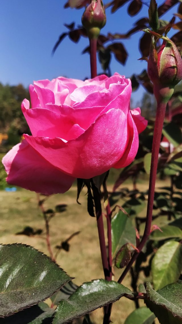 Blooming Pink Rose