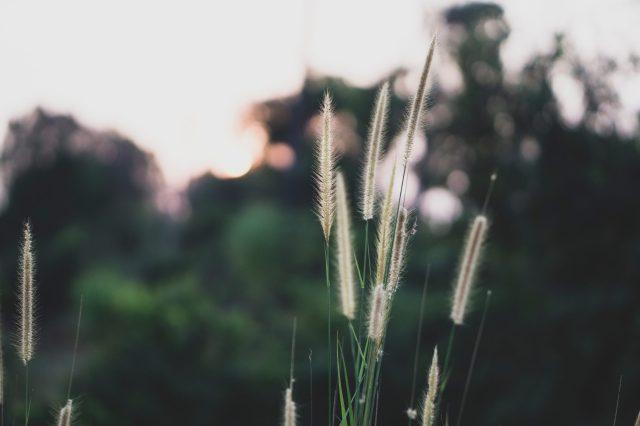 Flowers of grass straws