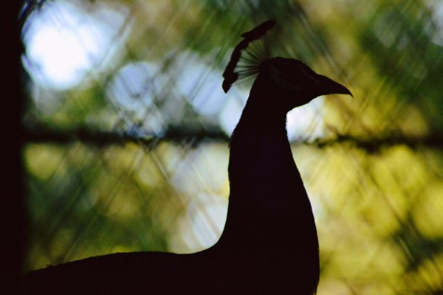silhouette of a peacock