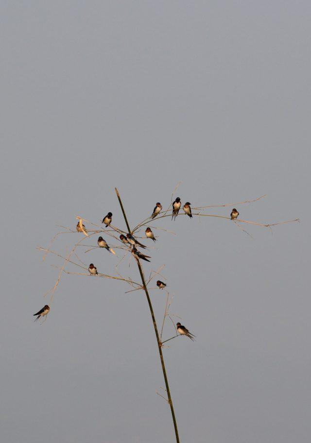 Barn swallow birds on a plant