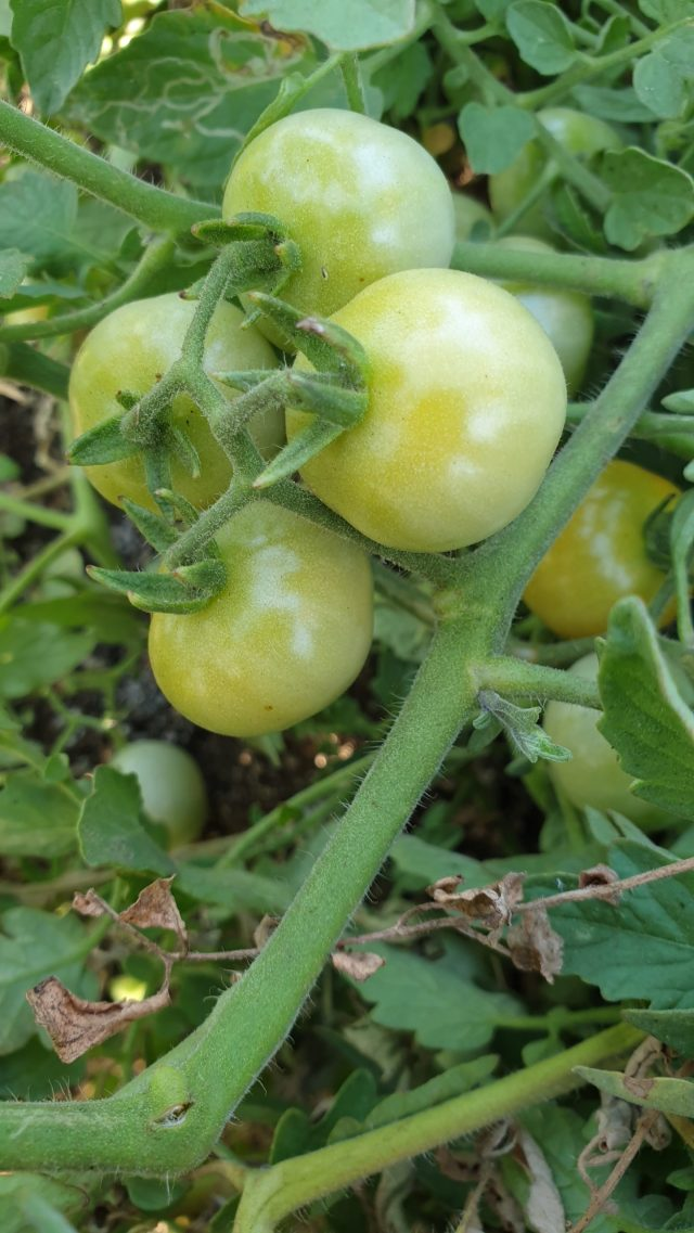 Green tomatoes on plant