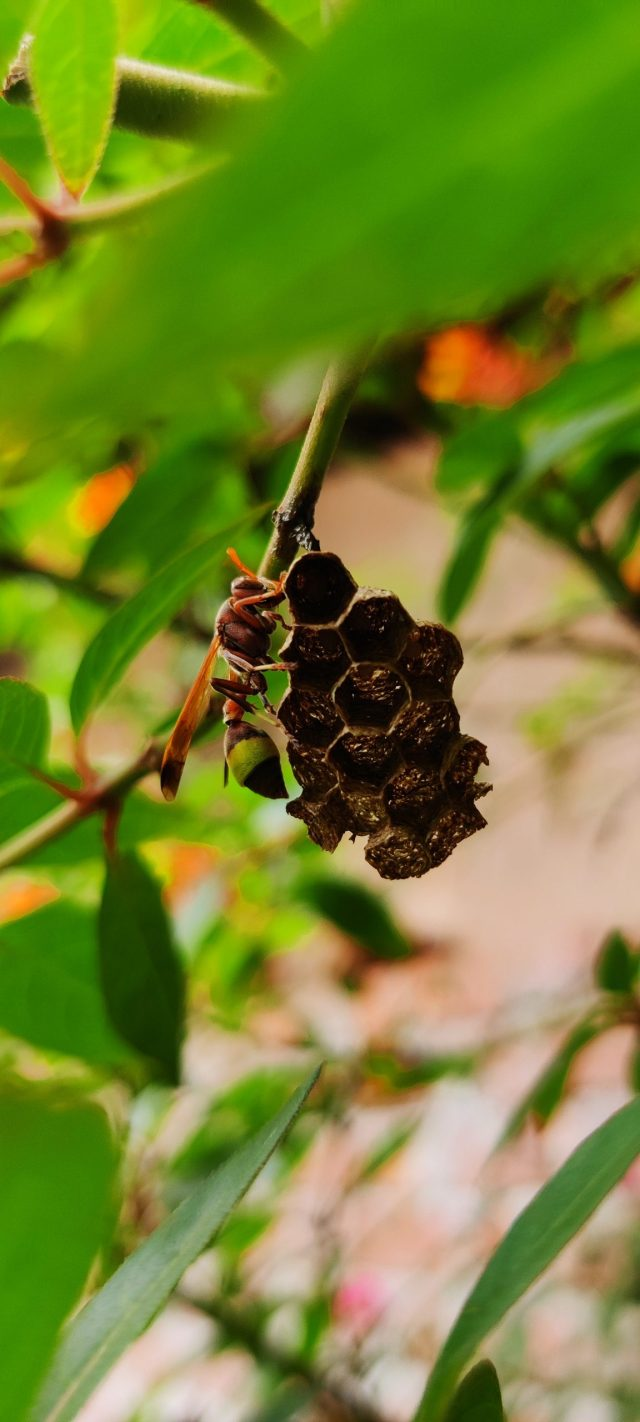 Nest of Ropalidia fly