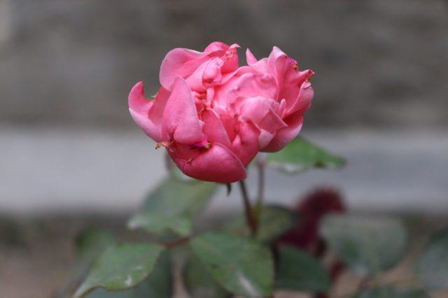 Pink Chinese Rose