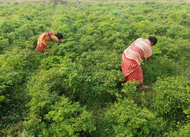 Women in a farm land