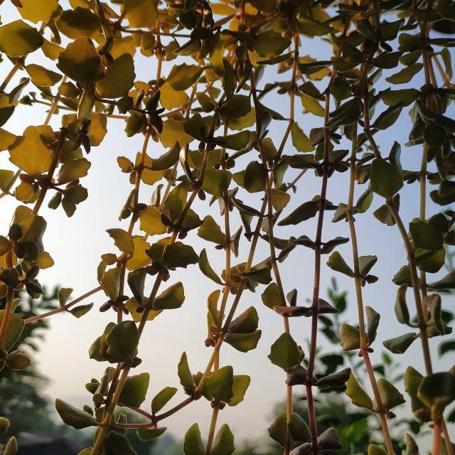 climber plants
