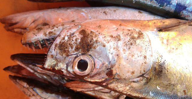 A dead killer fish