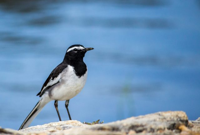 A White-Browed Wagtail