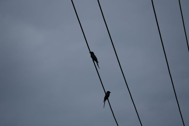 Birds sitting on electric line