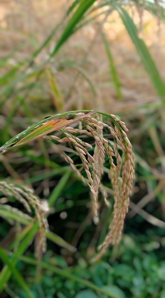 A rice plant
