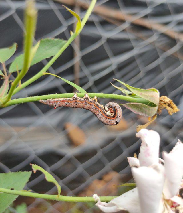 A worm on a flower bud
