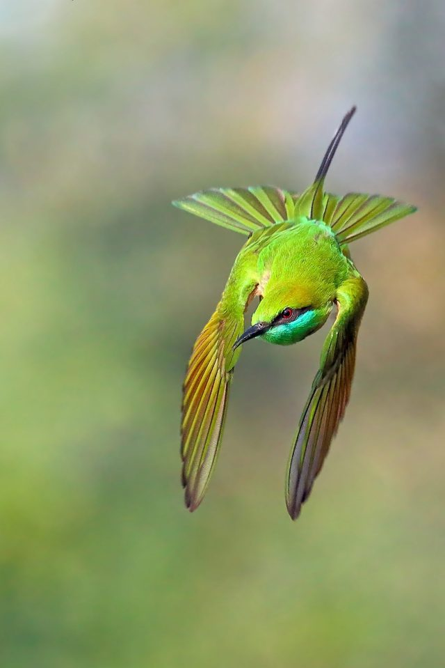 Flying Green Bee Eater