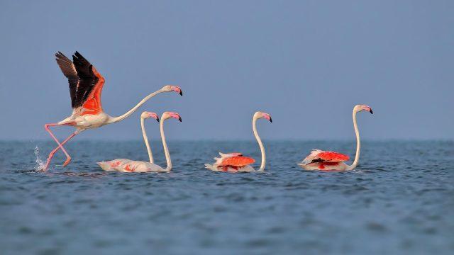 Greater Flamingo birds in Chilika Lake, Odisha