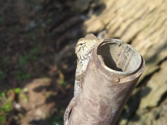 A lizard on a pipe