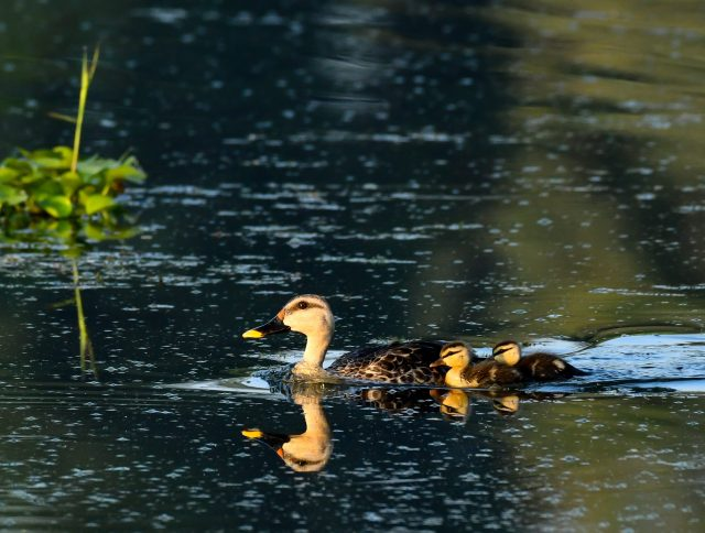 duck with ducklings in pond