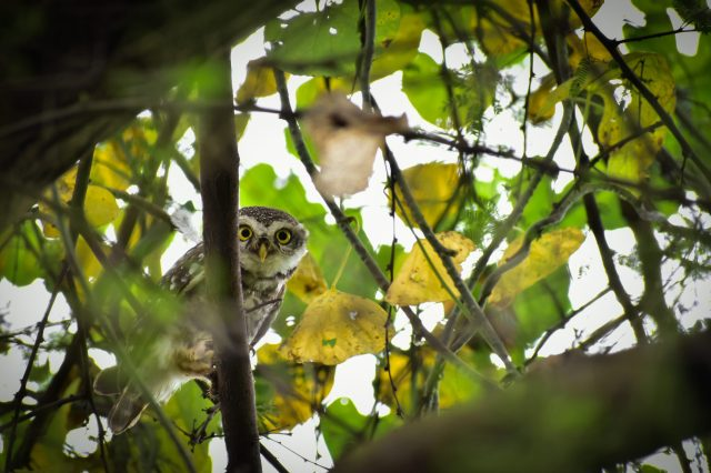 Spotted owlet on a tree